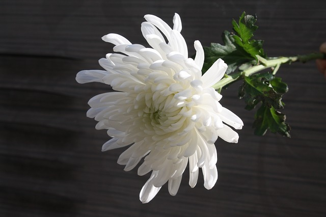 Chrysanthemum 1628511 640